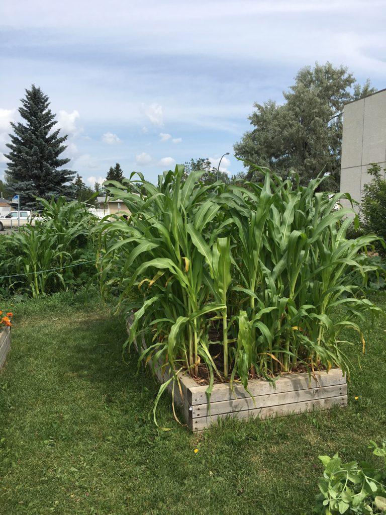 Gardens_corn