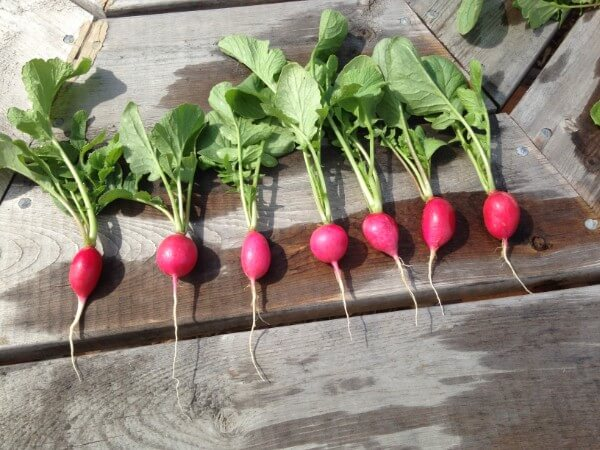 askiy market radishes june 28 2016