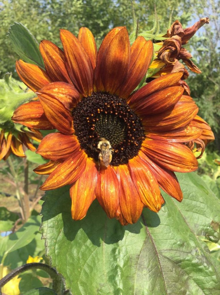 sunflower and bee (1)